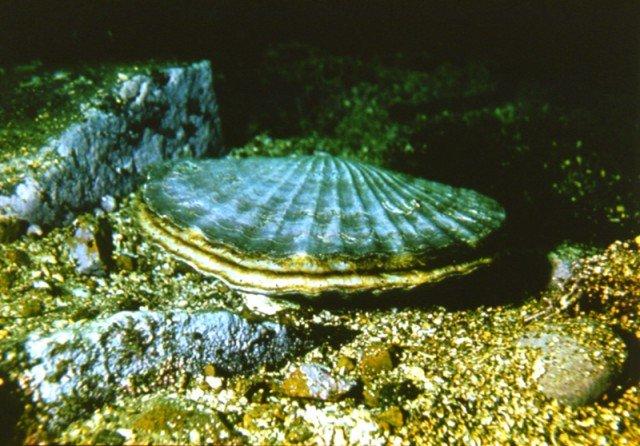 Как выглядит морской гребешок фото